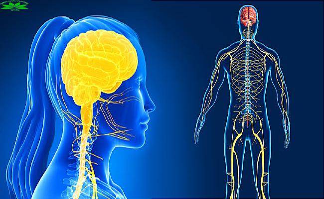 Xoa bóp bấm huyệt có ảnh hưởng đến hệ thần kinh